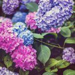 あじさいの育て方って?鉢植え向きの品種や肥料・剪定方法を伝授!